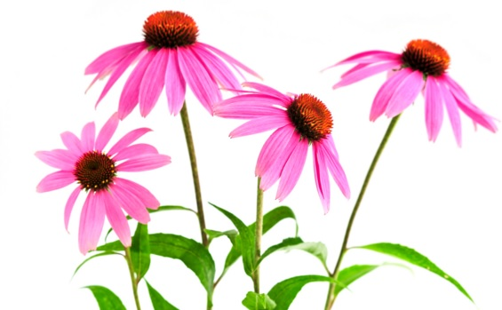 30 Echinacea Health Benefits (#1 Scientist Evidence)