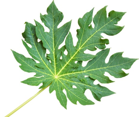 20 Health Benefits of Paw Paw Leaves (No 4 Super-Real) - Dr