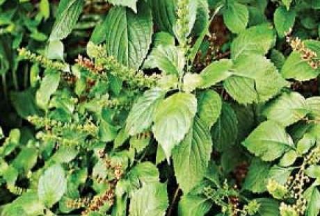 19 Health Benefits of Scent Leaf (No 9 For Smoke Man) - Dr Heben