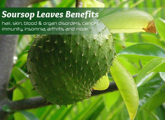 Soursop leaves health benefits