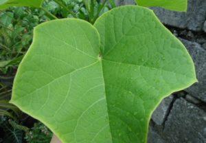 Tuba-tuba Leaves