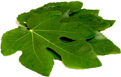 17 Top Health Benefits of Fig Leaves (no.7 is Miraculous!)