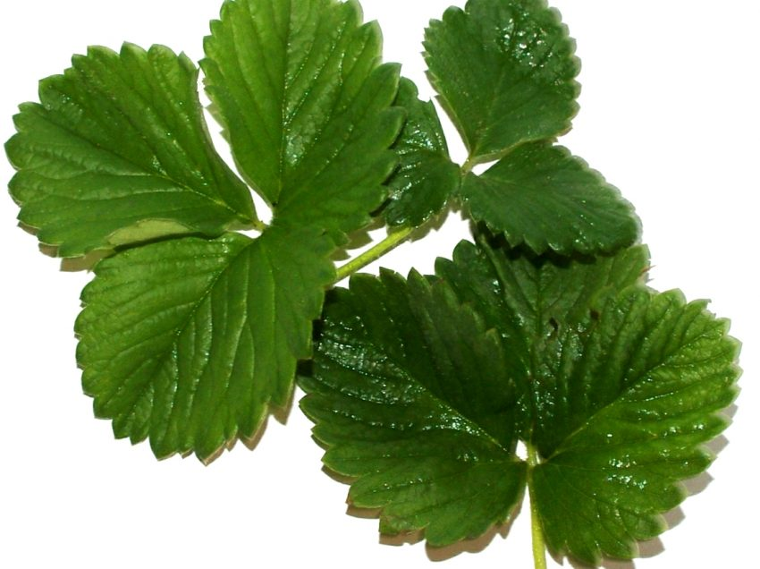 7 Super Health Benefits of Strawberry Leaves #1 Top Traditional Cure