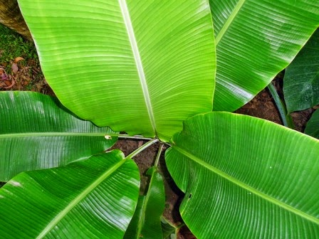 17 Health Benefits of Banana Leaves Tea (Top #1 Natural Remedy)