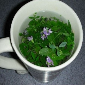 Alfalfa Is A Kind Of Herbal Plant Which Has Great Benefit For Human Health It Belongs To Nuts Families And Easily Identified By Its One Meter Long