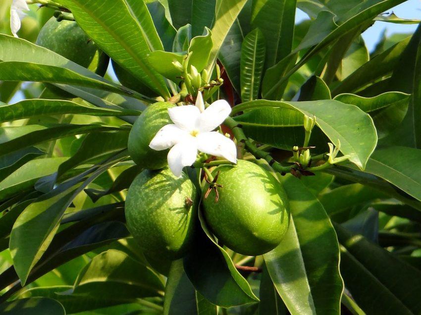 10 Health Benefits of Fruit Bintaro (No.1 Is Surprisingly Amazing)