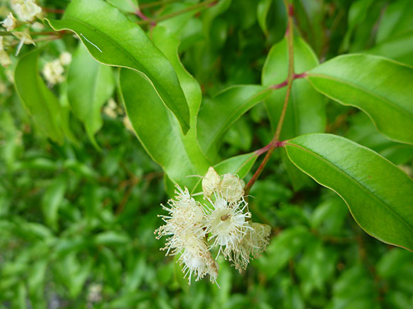 16 Proven Health Benefits Of Aniseed Myrtle