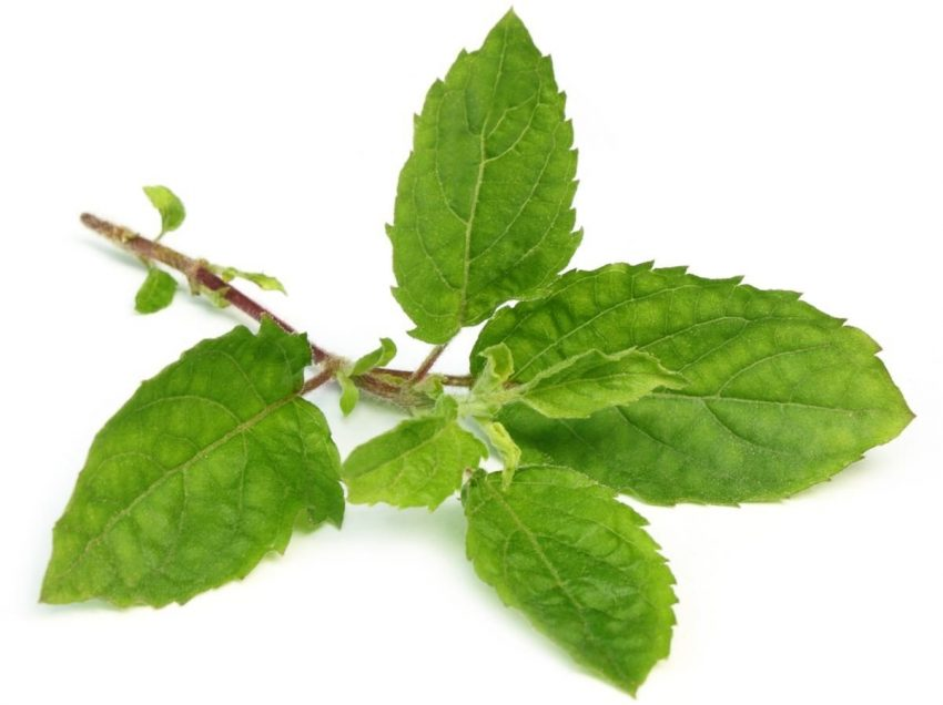 30 Health Benefits of Holy Basil Leaf (Amazing Sources)