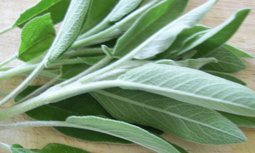 18 Health Benefits of Sage Leaves Based on Research