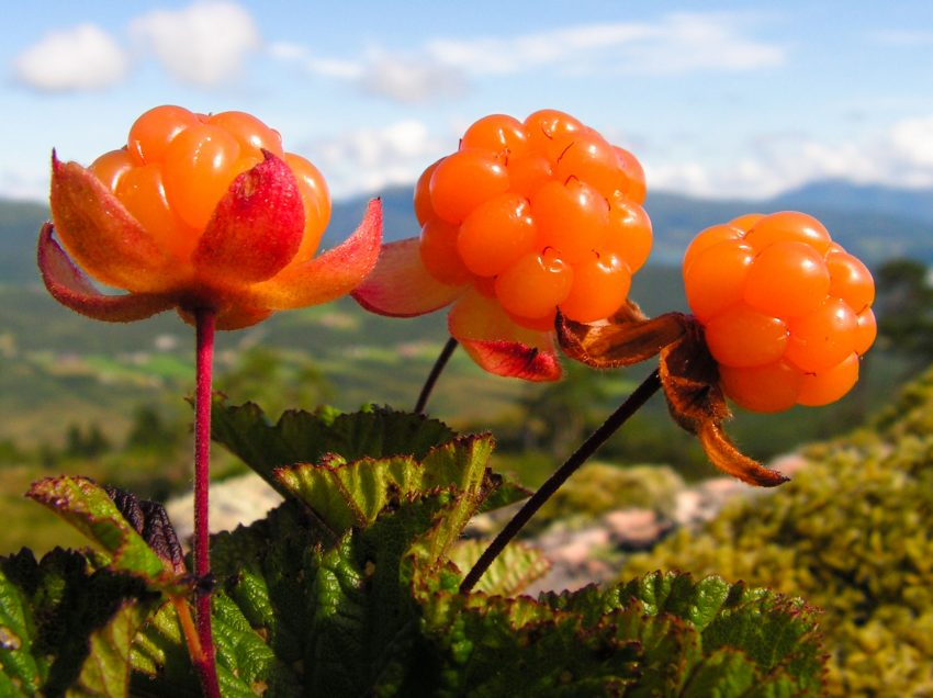 14 Proven Health Benefits of Cloudberry That No One Knows