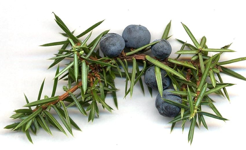 3 Benefits of Juniper Berry Essential Oil for Weight Loss