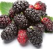 25 Science-Based Health Benefits of Mulberry Fruit