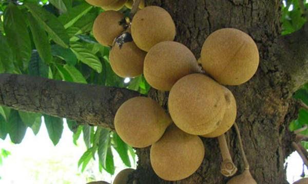 11 Benefits of Stelechocarpus Burahol for Your Body Health