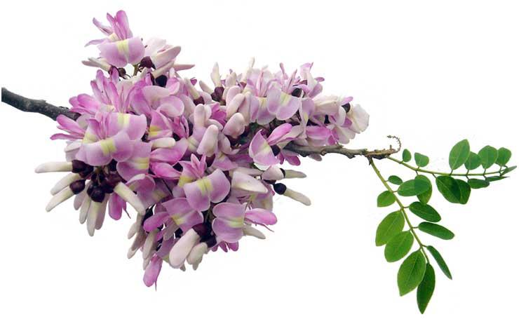 10 Super Health Benefits of Kakawate Leaves