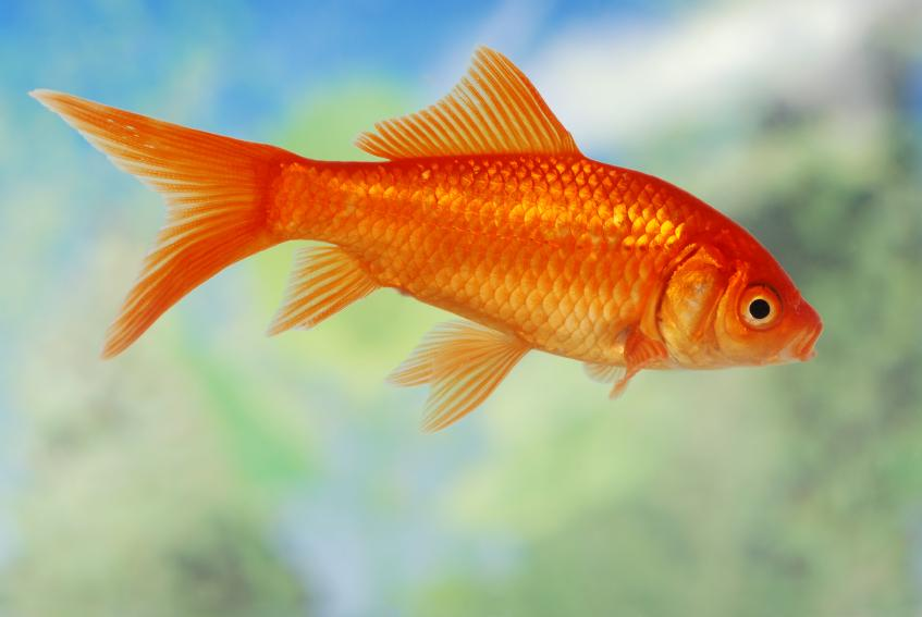 6 Research-Based Health Benefits of Goldfish for Your Pet