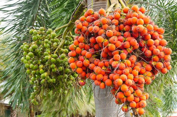10 Super Health Benefits of Chewing Areca Nut
