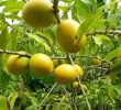 6 Unknown Health Benefits of Abiu Fruit #Nutrients Sources