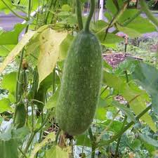 26 Unknown Health Benefits of Wax Gourd