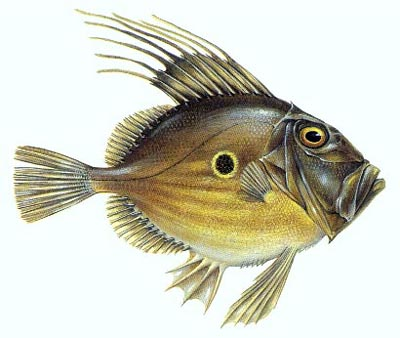 9 Health Benefits of John Dory – Excellent Source of Omega 3