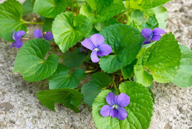 10 Incredible Health Benefits of Violet Leaves You Should Know