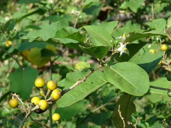 10 Proven Health Benefits of Solanum Torvum (Turkey Berry)