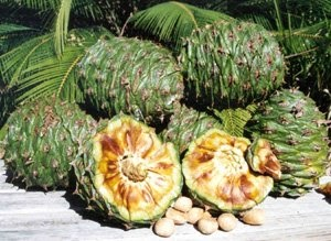 Get The Health Benefits of Bunya Nuts for Remedies!