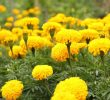 26 Health Benefits of Marigold Plant #1 Top Herbal Medicine