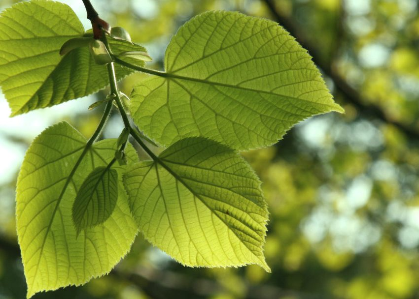 12 Incredible Health Benefits of Linden Leaves