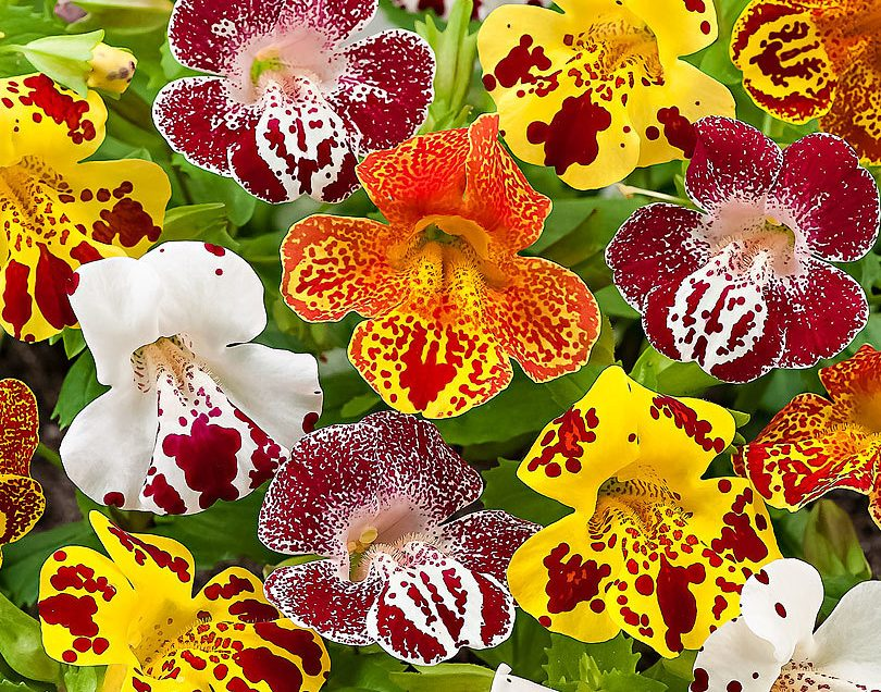 Mimulus Monkey Flower Benefits Will Make You Shock