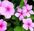 25 Health Benefits of Periwinkle Flower You Must Know
