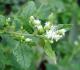20 Worth-Trying Health Benefits of Calea Zacatechichi