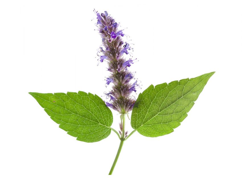 15 Medicinal Benefits of Patchouli #1 Powerful Herb