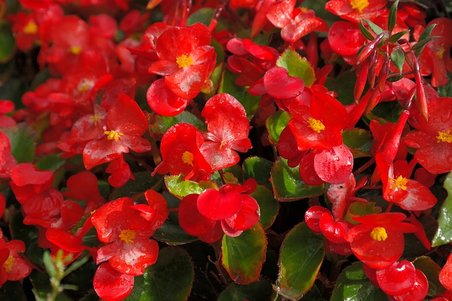 10 Super Health Benefits of Begonia Flower