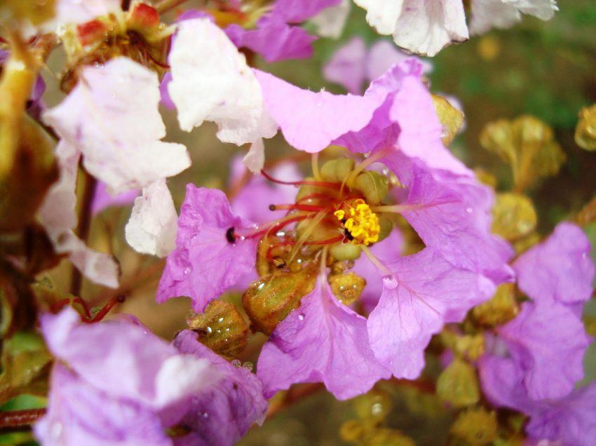 21 Secret Health Benefits of Crepe Myrtle #1 Herbal Cure