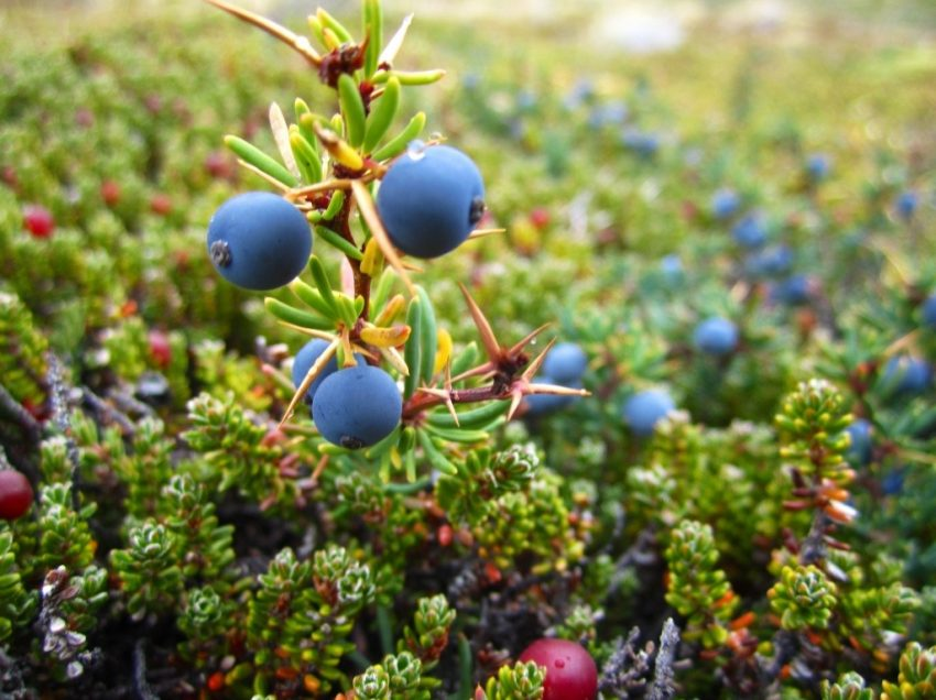 10 Unpredictable Health Benefits of Calafate Berry