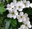 6 Proven Health Benefits of Hawthorn Leaf and Flower