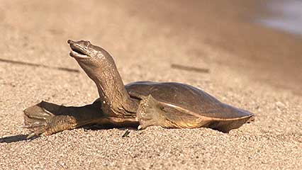 10 Unexpected Health Benefits of Soft Shelled Turtle