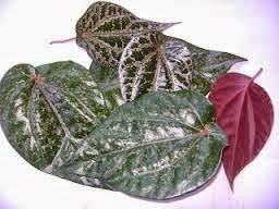 20 Health Benefits of Red Betel Leaves for Daily Treatment