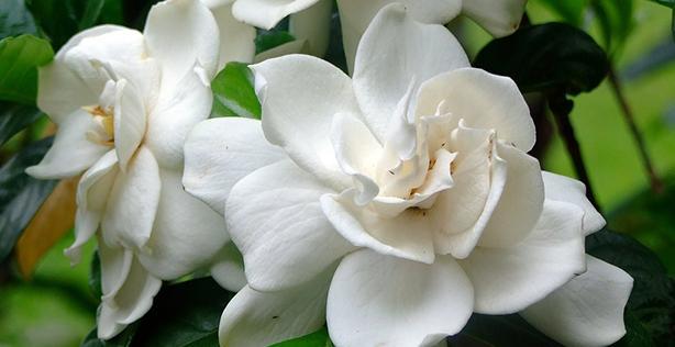 10 Unpredictable Health Benefits of Magnolia #Asian Herbs