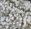 15 Unknown Health Benefits of Baby's Breath For Blood Cells