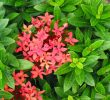 10 Unbelieveable Health Benefits of Ixora Flower
