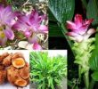 10 Amazing Health Benefits of Curcuma Xanthorrhiza