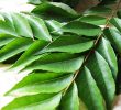 8 Proven Benefits Of Curry Leaves For High Blood Pressure