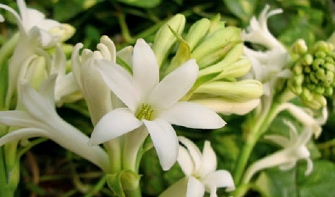 10 Health Benefits of Tuberose Flower Will Help You Totally