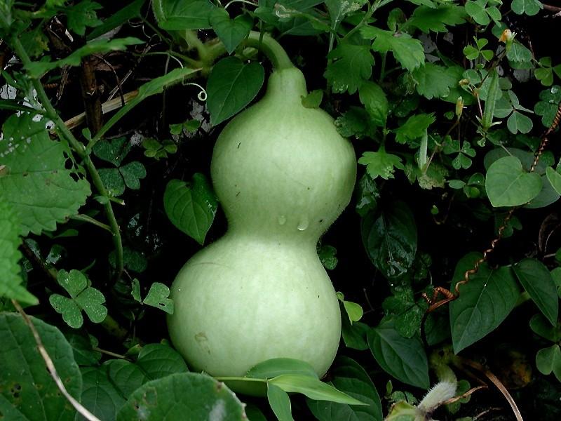12 Health Benefits of Calabash – Bottle Gourd