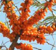 12 Super Health Benefits of Buckthorn Berry #High Vitamin Sources