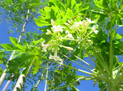 10 Impressive Health Benefits of Papaya Flowers