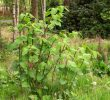 14 Amazing Benefits of Japanese Knotweed for Health