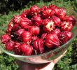 30 Science-Backed Benefits of Red Roselle Flower for Health