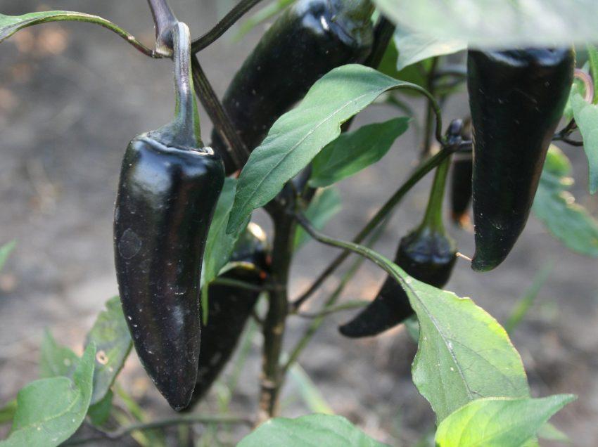 5 Secret Benefits of Black Chili for Health
